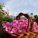 The rose in cosmetics: Delicate flowers for delicate skin